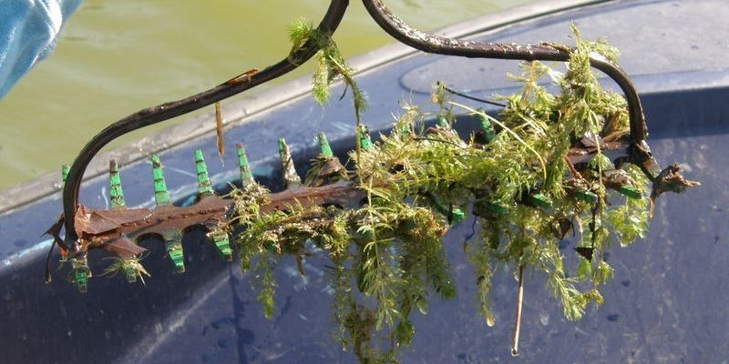 aquatic vegetation surveys weed