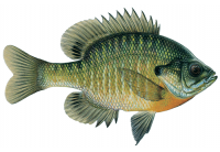 hybrid bluegill pond fish stocking